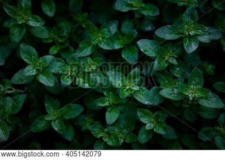 Green Leafy Mint Background. Peppermint - Grows In The Garden On A Flower Bed, Used In Cooking. To G