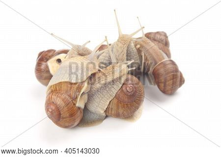 Grape Snail On A White Background. Mollusc And Invertebrate. Communication Of The Individual In Soci