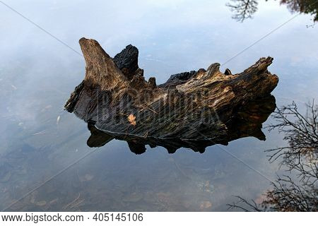 Old Tree Trunk Reflected In The Tranquil Water Surface. Old Tree Trunk Salient From Surface Pond. Au