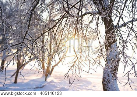 Winter Snowy Tree Through Sunshine. Winter Background. Snowy Nature Landscape At Sunset. Frozen Bran