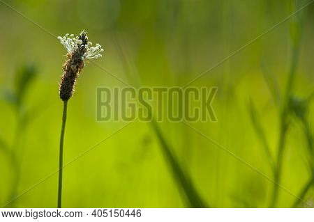 Spikelets Of Grass On A Green Background. Green Spikelets In The Field, Green Grass Closeup, Natural
