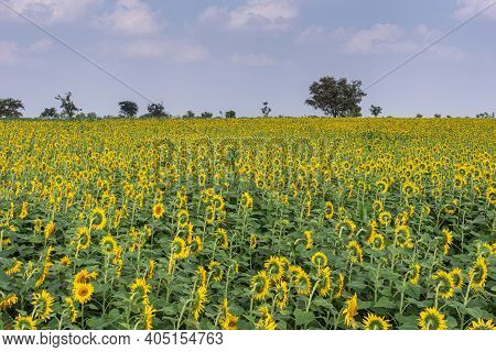 Abbigeri, Karnataka, India - November 6, 2013: Wide View On Blooming Sunflower Field Under Ligh Blue
