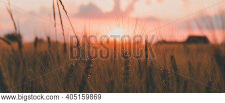 Agriculture Sunset Landscape. Close Up Of Ears Of Golden Wheat Under Soft Orange And Pink Sunset Lig