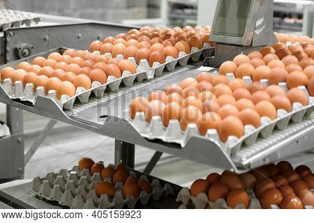 Factory Chicken Egg Production. Worker Sort Chicken Eggs On Conveyor. Agribusiness Company. High Qua