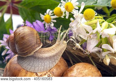 Grape Snail Is Actively Crawling In Nature. Mollusc And Invertebrate. Delicacy Meat And Gourmet Food