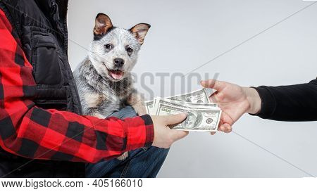 Australian Cattle Dog's (blue Heeler's) Puppy Sits On Hands Of The New Owner. Person Just Bought It