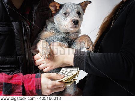 Scene Of Dog's Puppy Sale For Cash. A New Family's Friend. Australian Cattle Dog (blue Heeler) Breed