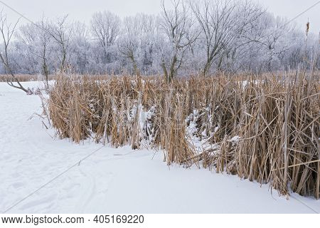 Frozen Pond Reeds And Forest Covered In Hoar Frost
