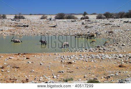 Animals at the Okaukuejo waterhole in Etosha National Park, Namibia