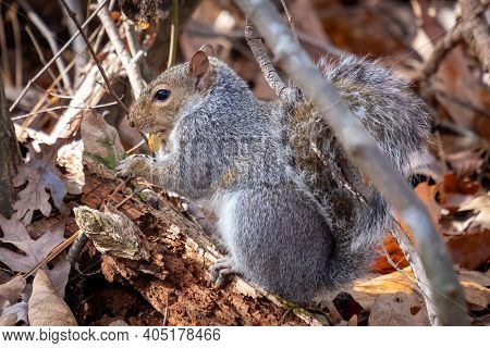 An Eastern Gray Squirrel Feasts On An Acorn While Forageing The Woods. Raleigh, Nc.