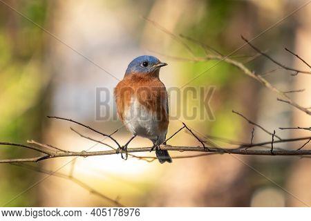 Close Up Of An Eastern Bluebird (sialia Sialis) Perching On A Limb. Raleigh, North Carolina.