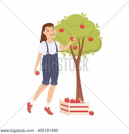 Woman Farmer Or Agricultural Worker Gathering Ripe Apples In Wooden Crate Vector Illustration
