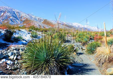 Yucca Plants On The San Andreas Fault At The Arid Mojave Desert Surrounded By Snow Covered Mountains