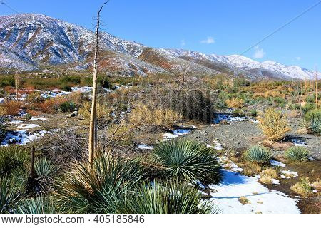Yucca Plants Besides Chaparral Shrubs Surrounded By Snow On The High Desert Plateau At The Mojave De