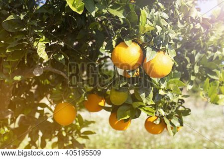 Beautiful Nature Scene With Fresh Ripe Orange Fruits On A Branch Of An Orange Tree In A Sunny Garden