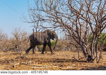 Majestic African Elephant In Chobe National Park, Dry Season, Botswana Safari Africa Wildlife