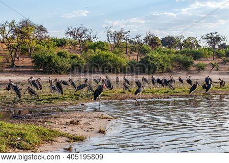 Flock Of Marabou Storks Birds Marabou Storks (leptoptilos Crumeniferus) In The Chobe National Park,