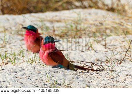Bird Northern Carmine Bee-eater In Large Nesting Colony Of (merops Nubicoides) On Bank Of The Zambez