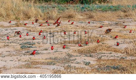 Flock Of Bird Northern Carmine Bee-eater Sitting On Ground In Large Nesting Colony Of (merops Nubico