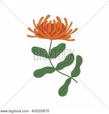 Elegant Orange Chrysanthemum With Stem And Leaves. Gorgeous Fall Flower With Lush Petals. Botanical