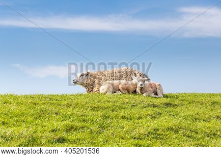 Sheep Family Resting In Green Grass In The Sun On A Dyke At The Wadden Island Texel In The Netherlan