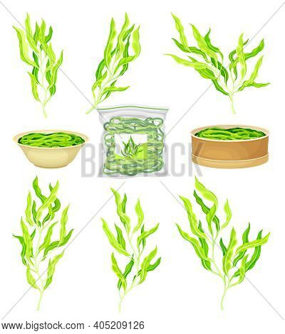 Green Hijiki Seaweeds Or Sargassum As Sea Vegetable In Bowl And Package Vector Set