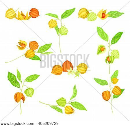 Ashwagandha Or Indian Ginseng As Perennial Specie With Elliptic Leaves And Bell-shaped Flowers Vecto