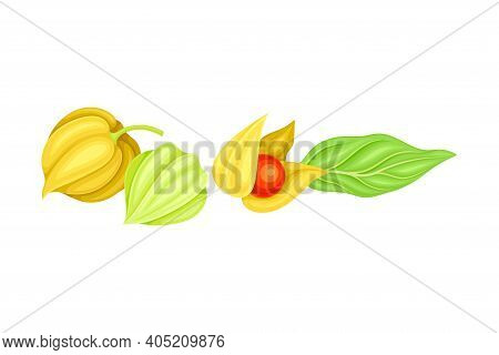 Indian Ginseng Or Physalis Papery Husk Or Calyx Enclosing Small Orange Fruit And Green Elliptic Leaf