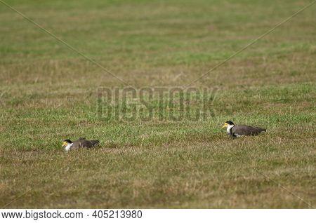 Spur Winged Plovers Vanellus Miles Novaehollandiae Resting. Auckland. North Island. New Zealand.