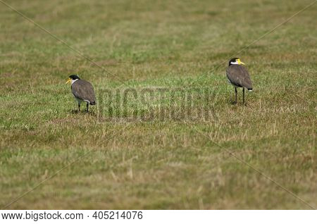 Spur Winged Plovers Vanellus Miles Novaehollandiae. Auckland. North Island. New Zealand.