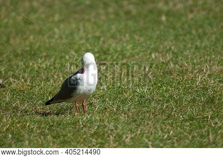 Red Billed Gull Larus Novaehollandiae Scopulinus Preening. Auckland Domain. Auckland. North Island.