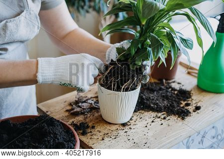 Spring Houseplant Care, Waking Up Indoor Plants For Spring. Woman Is Transplanting Plant Into New Po