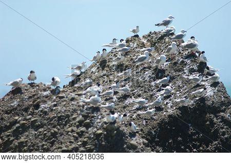 Red-billed Gulls Chroicocephalus Novaehollandiae Scopulinus And White-fronted Terns Sterna Striata.