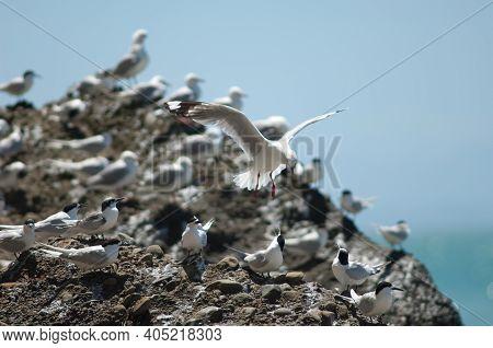 Red-billed Gull Chroicocephalus Novaehollandiae Scopulinus Flying And White-fronted Terns Sterna Str