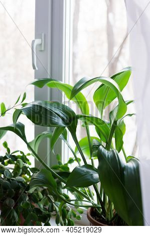 Eucharis Amazonian Lily, Houseplant Grown At Home On The Window, Hobby And Floriculture.