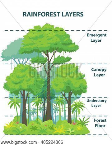 Rainforest Layers Educational Banner Or Poster. Jungle Vertical Structure Educational Scheme. Emerge