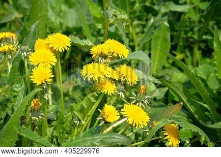 Bright Yellow Flowers On Blurred Background In Meadow. Yellow Dandelion On Green Meadow In Summertim
