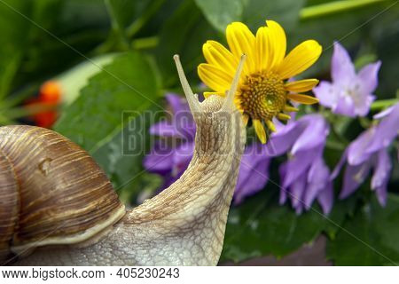 Snail Is Actively Crawling In Nature. Mollusc And Invertebrate. Delicacy Meat And Gourmet Food.