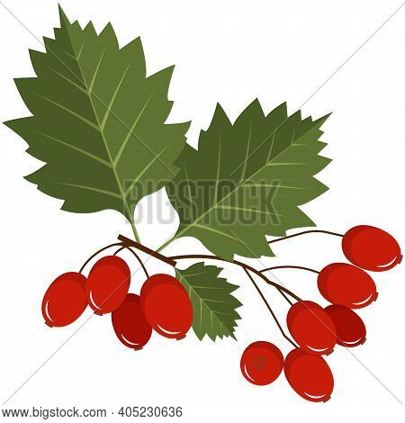 Red Hawthorn Berries On Stem With Leaves Flat Vector Icon
