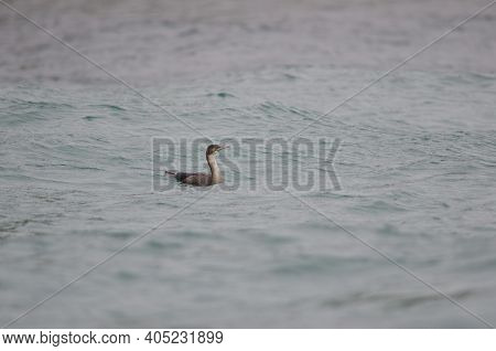Blue Shag Stictocarbo Steadi. Stewart Island Offshore. New Zealand.