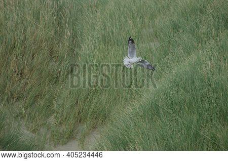 Red-billed Gull Chroicocephalus Novaehollandiae Scopulinus. Mason Bay. Stewart Island. Rakiura Natio