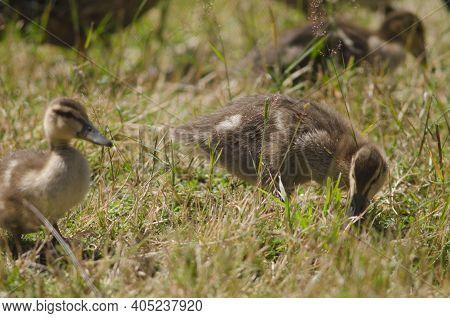 Mallards Anas Platyrhynchos. Ducklings Searching For Food. Te Anau Bird Sanctuary. Te Anau. Southlan
