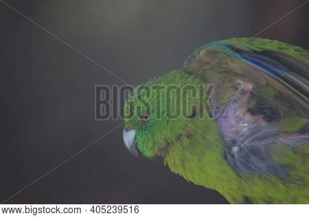 Antipodes Parakeet Cyanoramphus Unicolor Stretching. In Captive Conditions. Te Anau Bird Sanctuary.