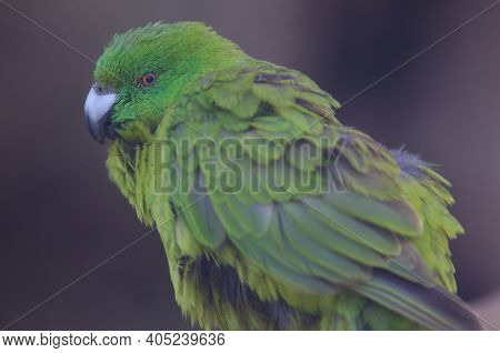 Antipodes Parakeet Cyanoramphus Unicolor. In Captive Conditions. Te Anau Bird Sanctuary. Te Anau. So