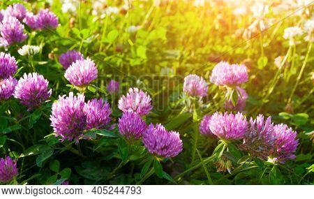 Summer landscape with summer meadow and pink blooming flowers of clover, summer landscape, colorful summer field, sunny summer meadow with blooming summer flowers. Summer landscape