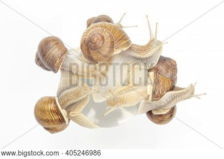 Helix Pomatia. Grape Snail On A White Background. Mollusc And Invertebrate. Gourmet Protein Meat Foo