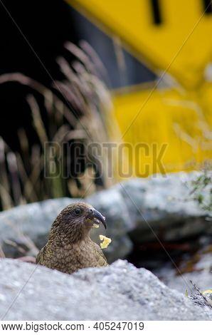 Kea Nestor Notabilis Eating An Apple. Fiordland National Park. Southland. South Island. New Zealand.