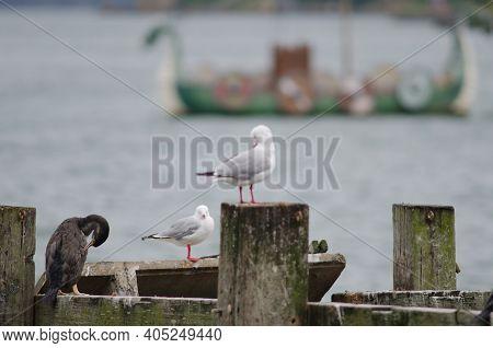 Spotted Shag Phalacrocorax Punctatus, Red-billed Gulls Chroicocephalus Novaehollandiae Scopulinus An