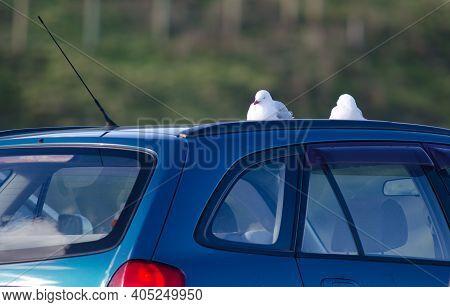 Red-billed Gulls Chroicocephalus Novaehollandiae Scopulinus Resting On The Roof Of A Car. Taiaroa He