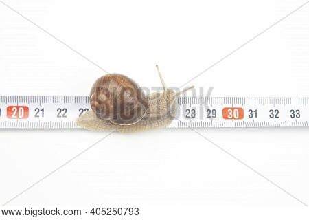 Helix Pomatia. The Snail Crawls Along The Measuring Ruler. Mollusc And Invertebrate. Delicacy Meat A